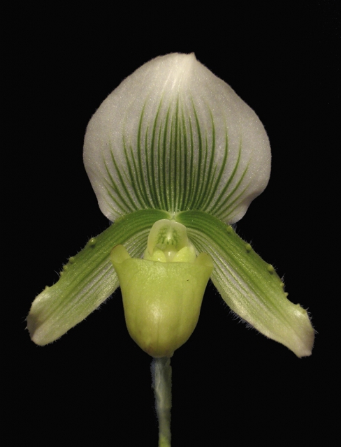Paphiopedilum Gothic Hold